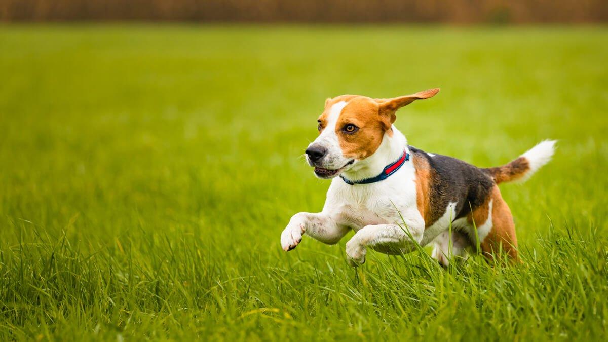 perro corriendo por el prado